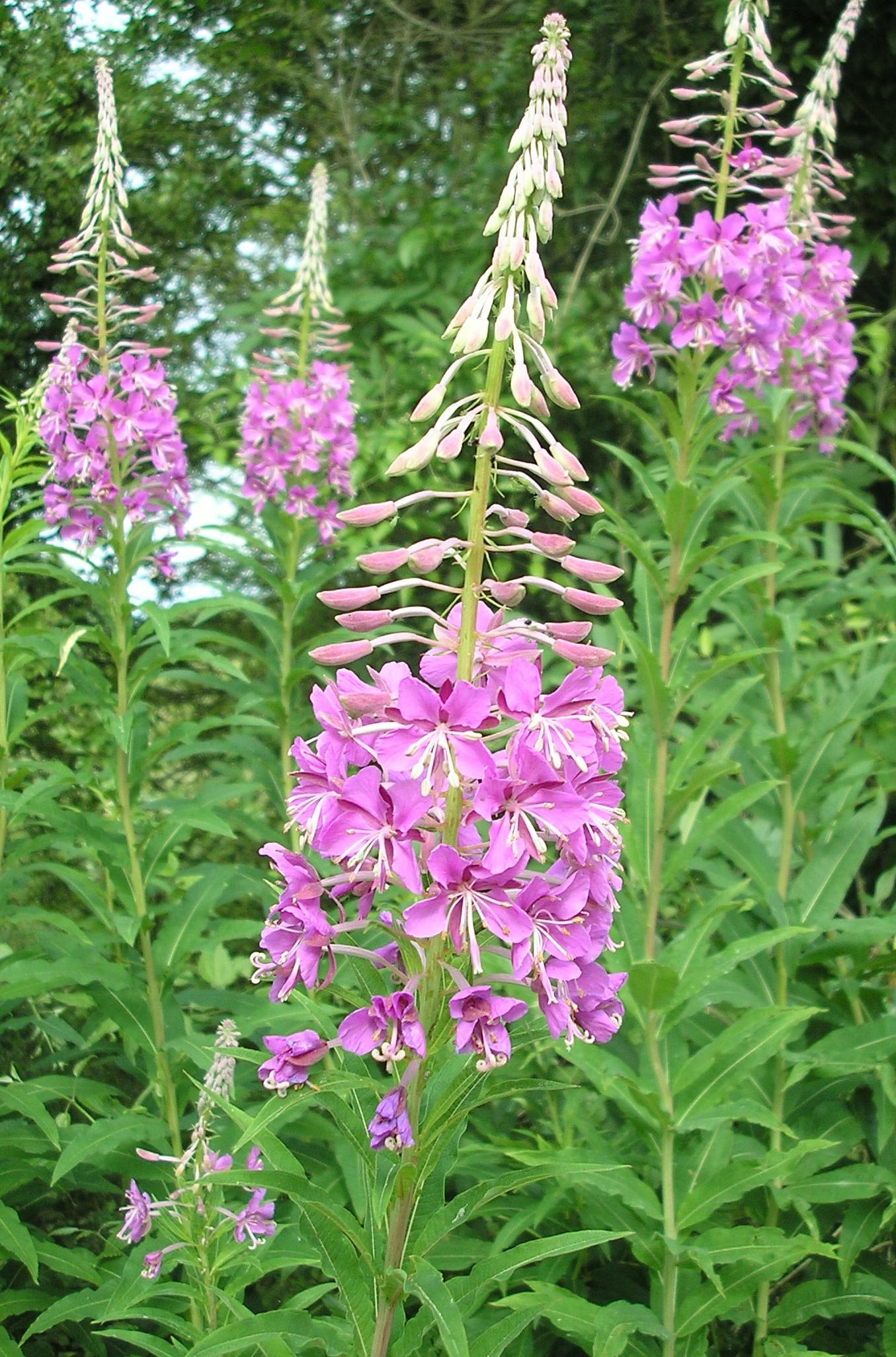 Цветы кипрея полезные свойства